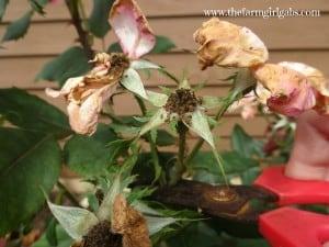 Rose Pruning 1