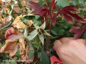 Rose Pruning 2