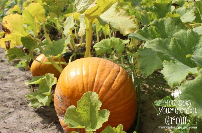 Pumpkins at Russo's Fruit & Vegetable Farm
