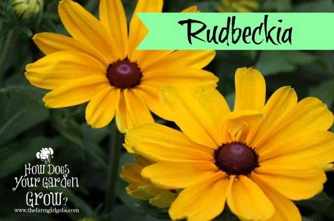 Rudbeckia 2