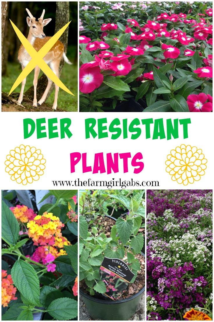Deer resistant plants the farm girl gabs here are some deer resistant plants that you can plant in your garden and the deer izmirmasajfo