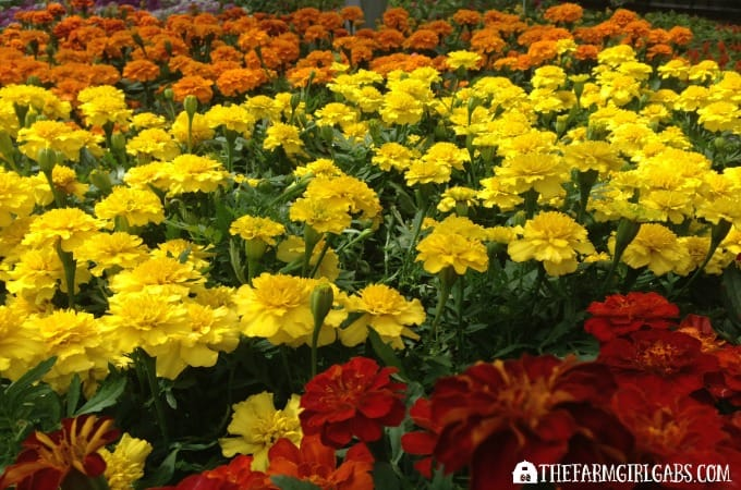 10 Marigolds - 10 Annuals To Grow From Seed