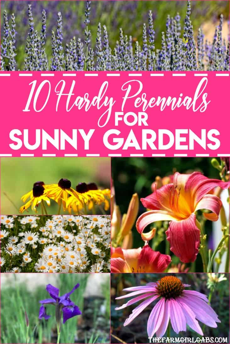 Perennials are the perfect option for those who like plants that provide year to year color. Got sun? Check out these 10 Hardy Perennials for Sunny Gardens. #Gardening #Perennials #GardeningTips #Plants #Planting #Flowers