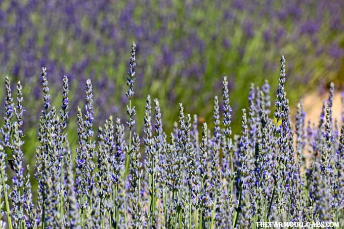 Perennials are the perfect option for those who like plants that provide year to year color. Got sun? Check out these 10 Hardy Perennials for Sunny Gardens.